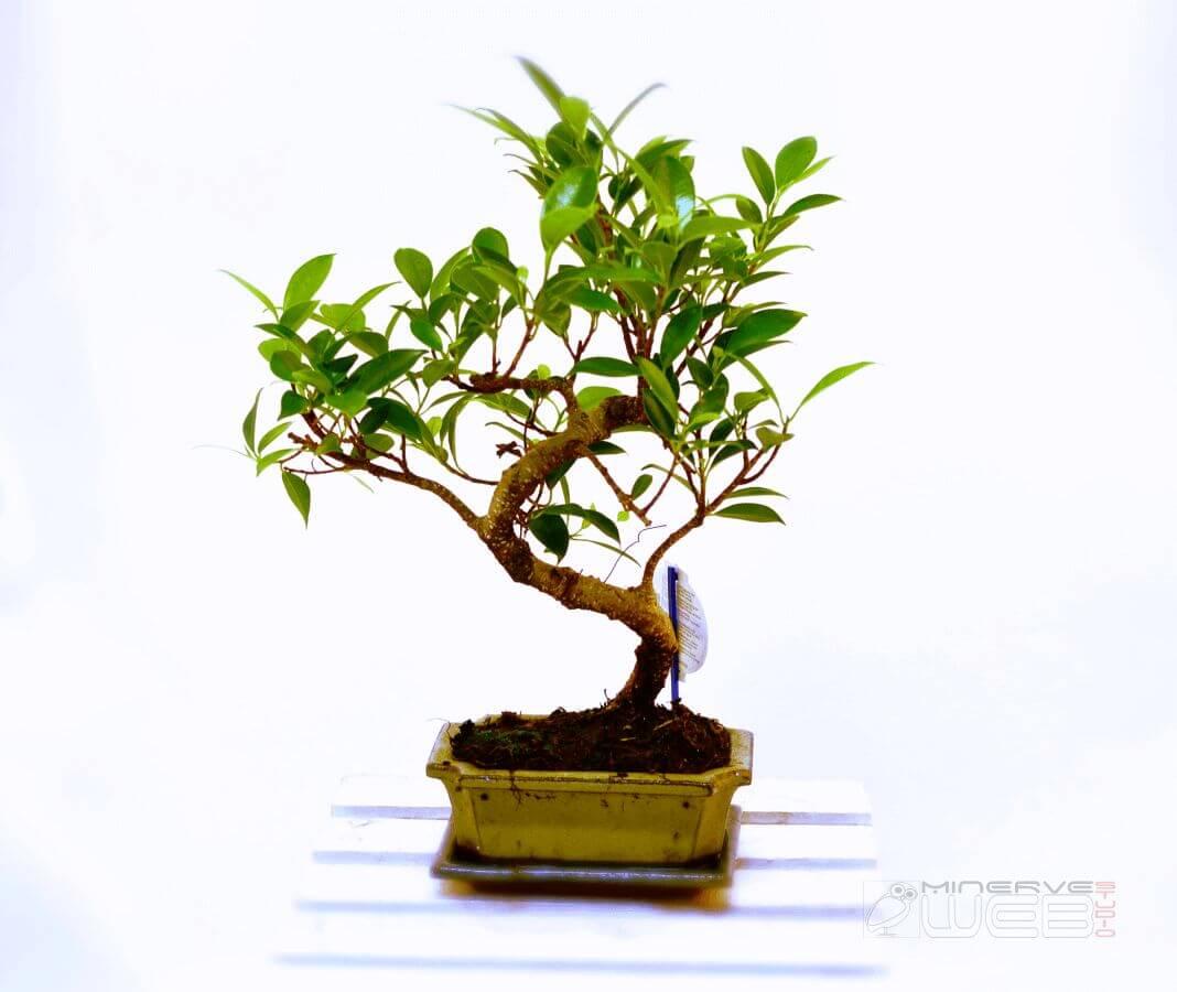 PLANTE - marguerite-fleuriste -Minerve-web-Studio